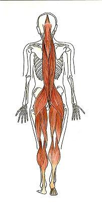 The continuity of muscles up the back and down the legs means that this relationship is given a lot of attention in Bowenwork sessions. Manipulation of these muscles can have a profound effect on the spine and posture.